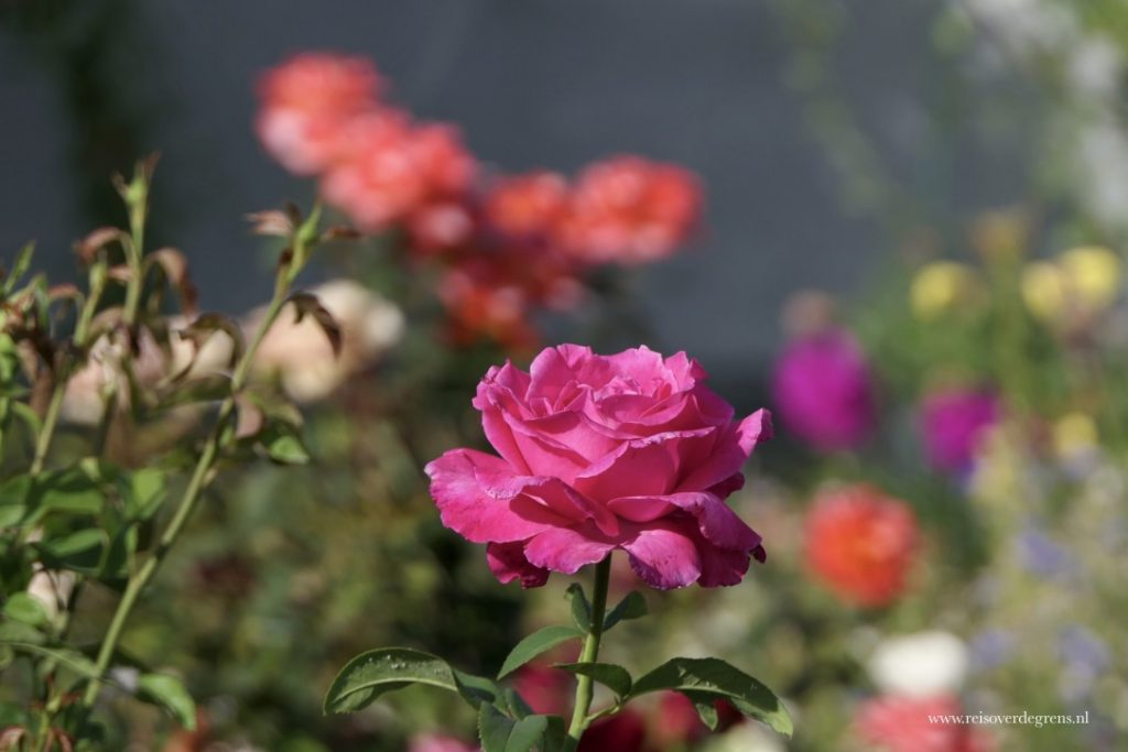 Roos in de tuin van de Russisch orthodoxe kerk in Karakol